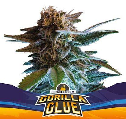 Titelbild von Gorilla Glue-Pflanze autoflowering Cannabis Samen Packung aus dem Sensoryseeds Shop