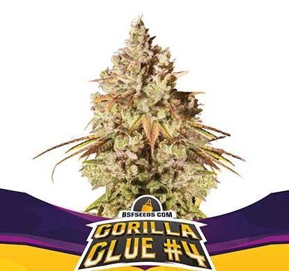 Titelbild von Gorilla Glue-Pflanze feminisierte Cannabis Samen Packung aus dem Sensoryseeds Shop