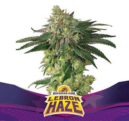 Titelbild von Lebron Haze-Pflanze der feminisierten Cannabis Samen Packung von Sensoryseeds