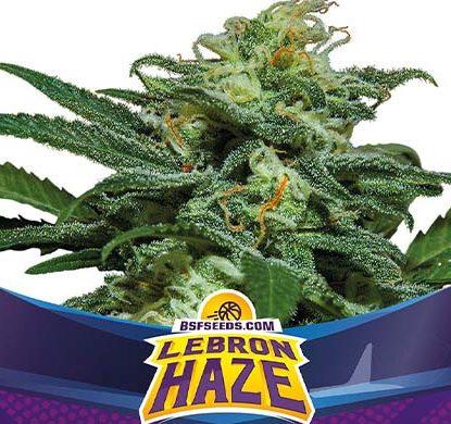 Titelbild von Lebron Haze Produktbeschreibung um Cannabis Samen automatic BSF bestellen