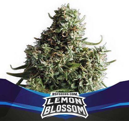 Titelbild von Lemon Blossom-Pflanze der Cannabis Samen Packung von Sensoryseeds