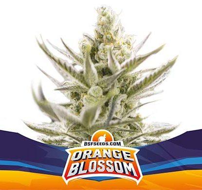 Titelbild von Orange Blossom-Pflanze autoflowering Cannabis Samen Packung aus dem Sensoryseeds Shop