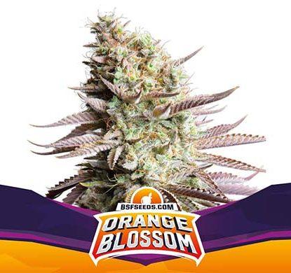 Titelbild von Orange Blossom-Pflanze feminisierte Cannabis Samen Packung aus dem Sensoryseeds Shop