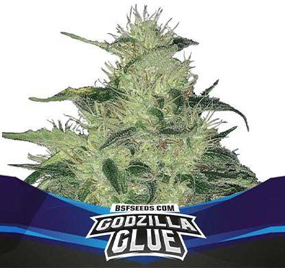 SensorySeeds Autoflowering Godzlla Glue Pflanze