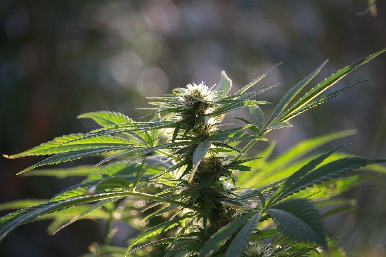 weibliche Cannabissamen