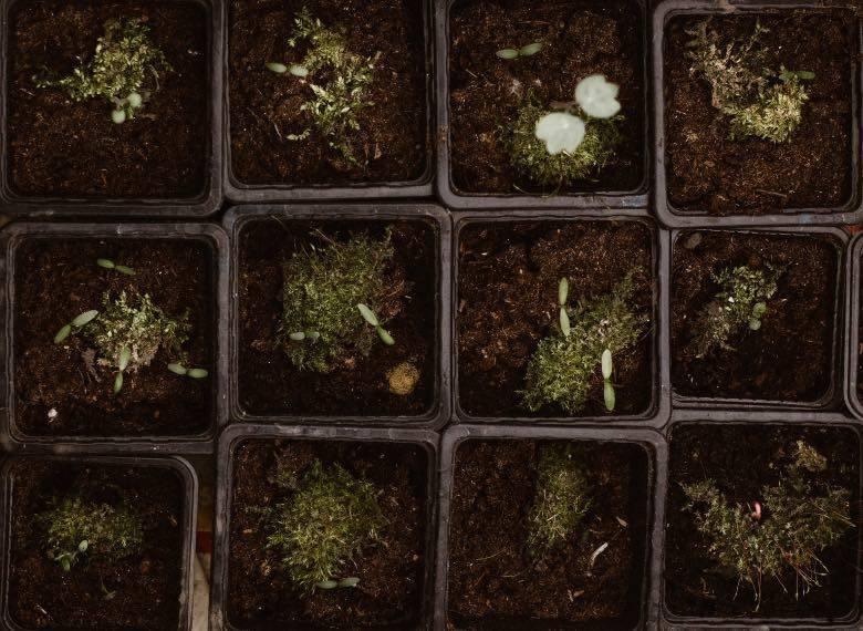 Cannabissamen pflanzen