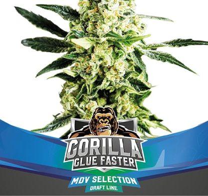 Titelbild von Gorilla Glue-Pflanze der fast Flowering Cannabis Samen Packung von Sensoryseeds