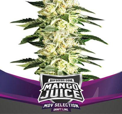 Titelbild von Mango Juice-Pflanze für feminisierte Cannabis Samen Packung von Sensoryseeds