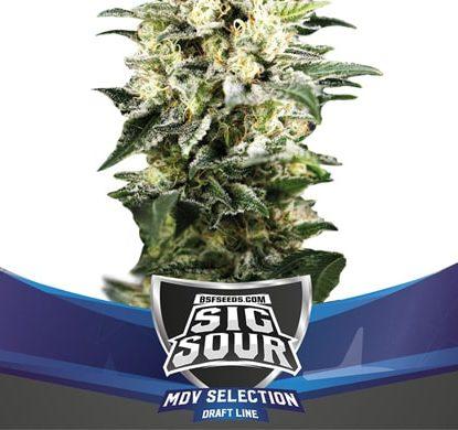 Titelbild von Sig Sour XXL-Pflanze autoflowering Cannabis Samen Packung aus dem Sensoryseeds Shop