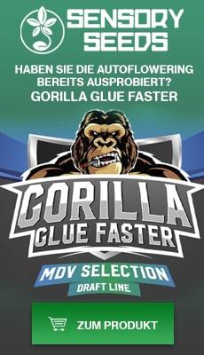 Banner Sensoryseeds Gorilla Glue cannabissamen fast flowering
