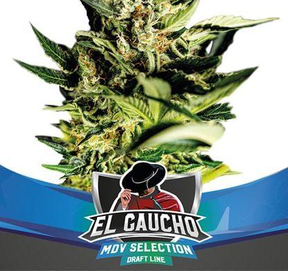 Fast Flowering Samen El Gaucho