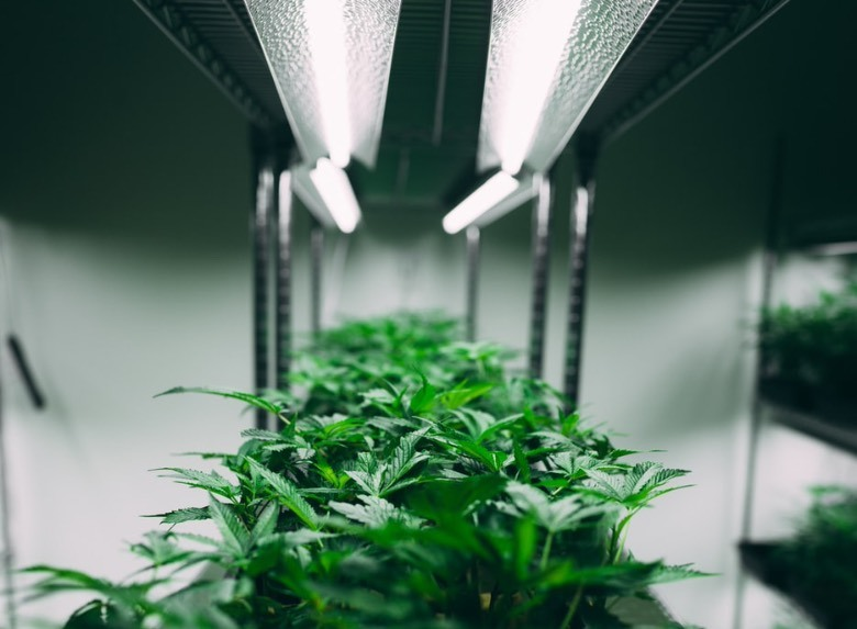 Indoor cannabis samen autoflowering