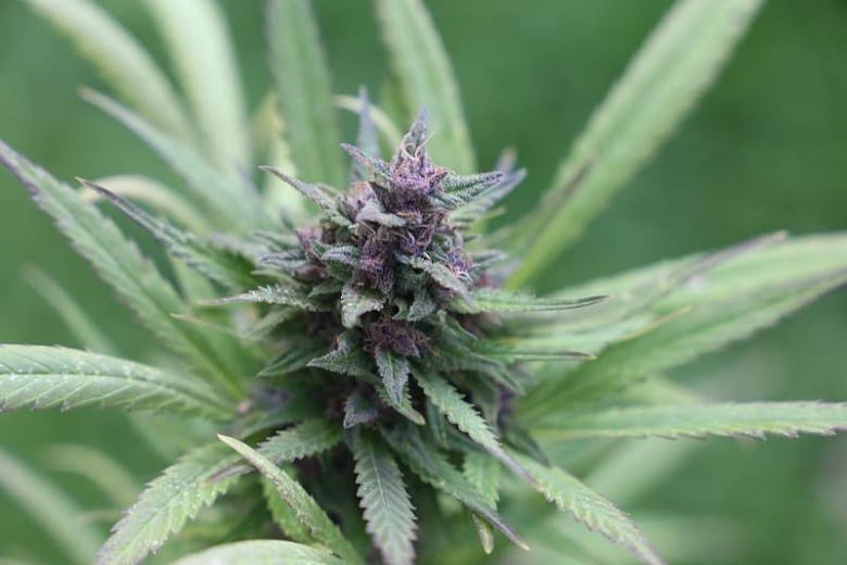Cannabis Samen Purple Haze