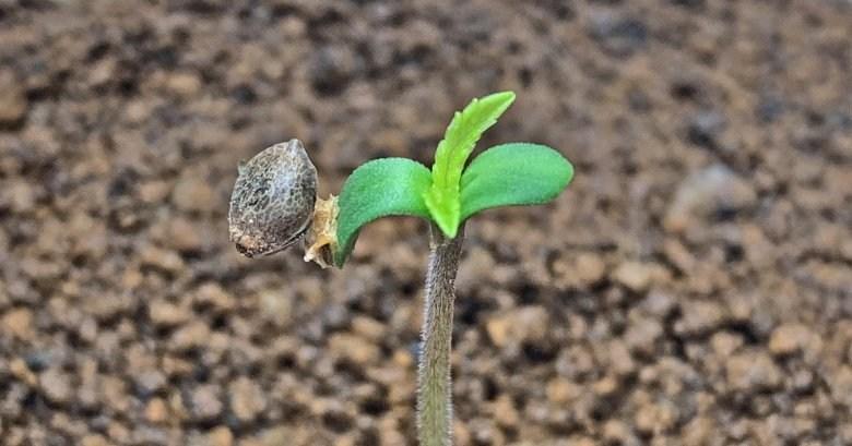 Cannabis Samen in einer Wohnung pflanzen