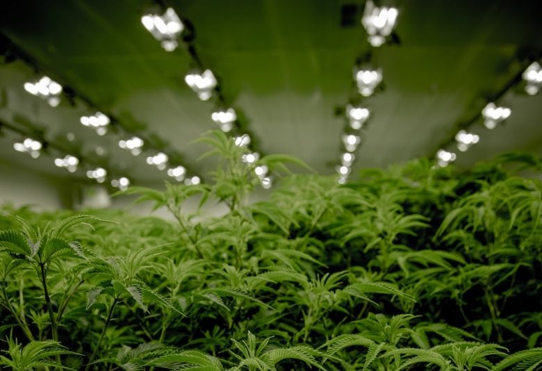 Cannabis Samen mit künstlichem Licht anbauen