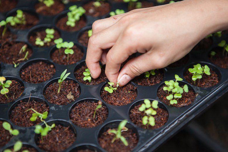 Fledermaus-Guano fur Pflanzen und marihuana samen