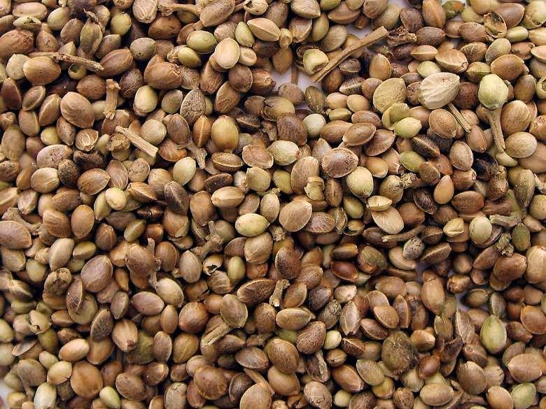 Kaufen Sie sammelbare Cannabis Samen ist legal