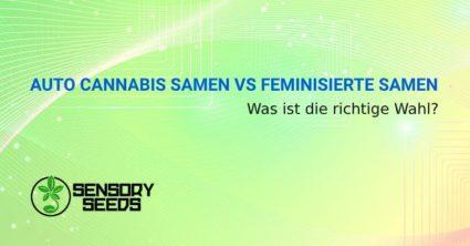 Selbstblühende Cannabissamen vs feminisierte Samen