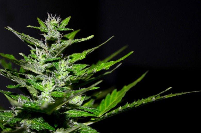 aus feminisierten Cannabis Samen geborene Pflanzen