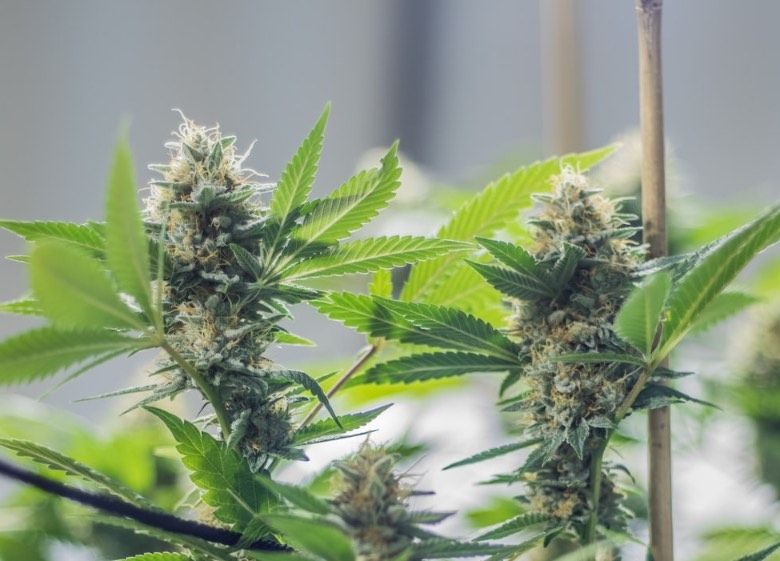 automatic feminisierte cannabis Samen kaufen