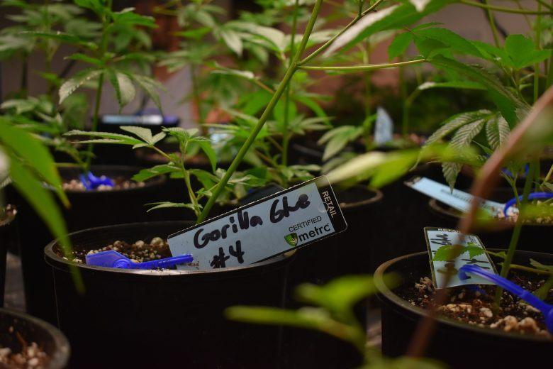 beste Gras und Cannabis Samen Gorilla glue