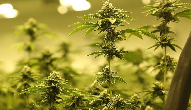 cannabis samen autoflowering Samen 30 Tage