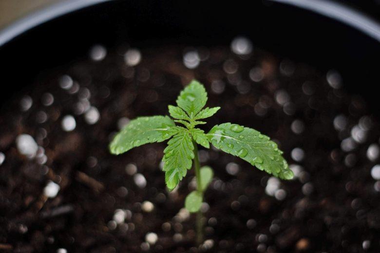 wie man einen Bonsai aus marihuana Samen züchtet