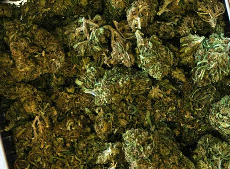 Cannabissamen
