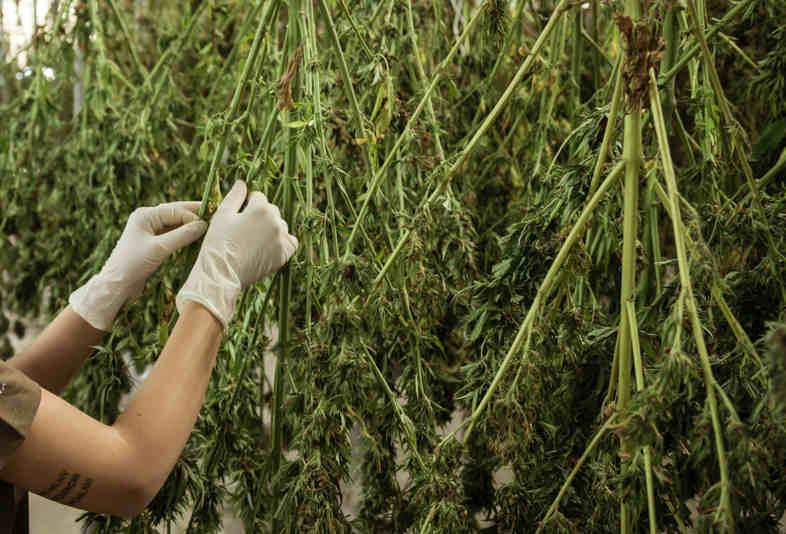 Cannabis-Kultivierung