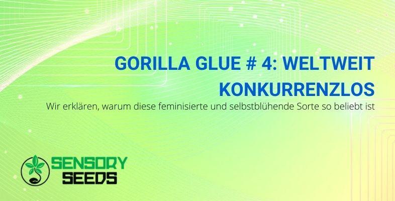 Gorilla Glue # 4 aus selbstblühenden und feminisierten Samen ist weltweit konkurrenzlos