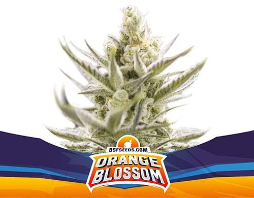 Sensoryseeds bietet Ihnen die besten Eigenschaften von Cannabissamen, ohne die Bank zu sprengen