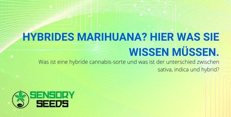 Was ist hybrides Marihuana und wie unterscheidet es sich von Indica- und Sativa-Sorten?
