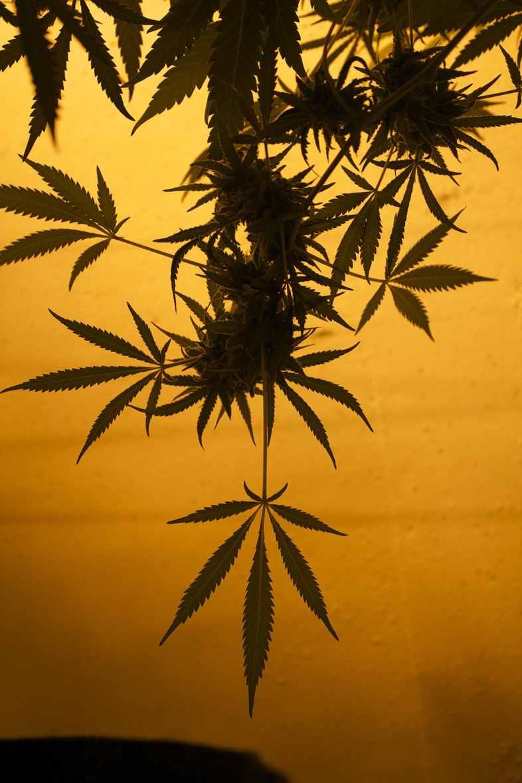 Die Situation von medizinischem Cannabis in der Schweiz