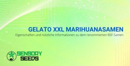 Eigenschaften und nützliche Informationen zu Gelato XXL BSF Marihuanasamen