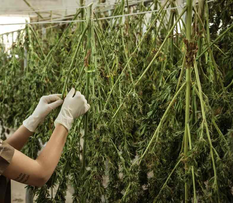 Wie das Trocknen und Bräunen von Cannabisblüten funktioniert