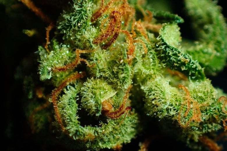 Marihuana Harz was ist das?