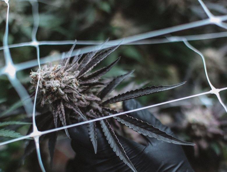 Autoflowering Pflanzen mit Genetik von Ruderalis geerbt