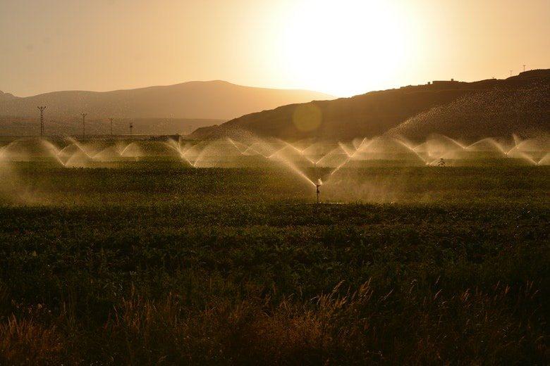 Die morgendliche Bewässerung hilft, Blattseptorien zu vermeiden
