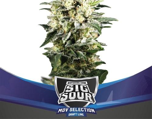 Stark, groß und reich an THC, Mr. Sour XXL autoflowering Cannabis