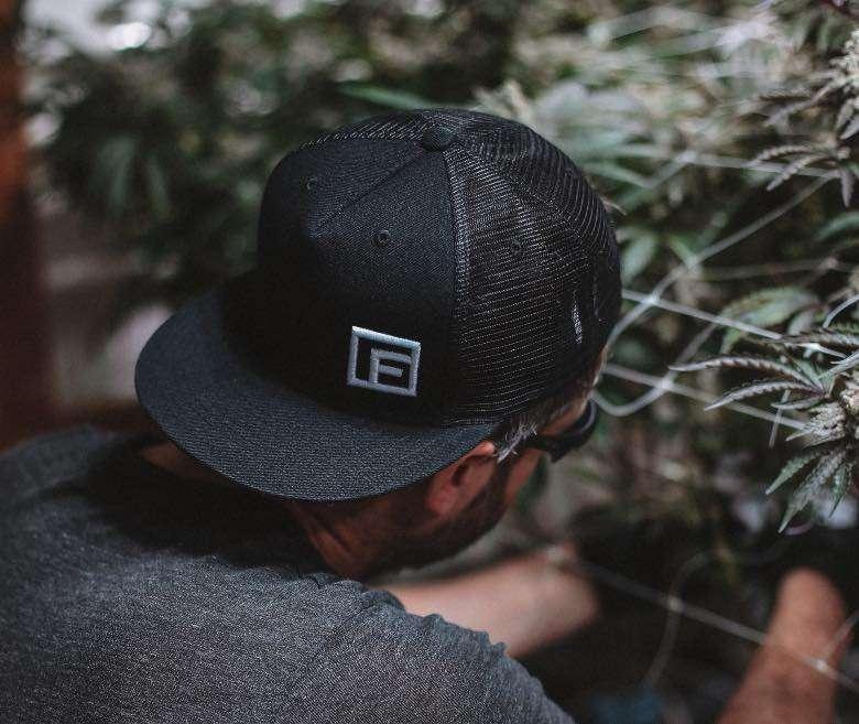 Das Marihuana vor der Ernte spülen