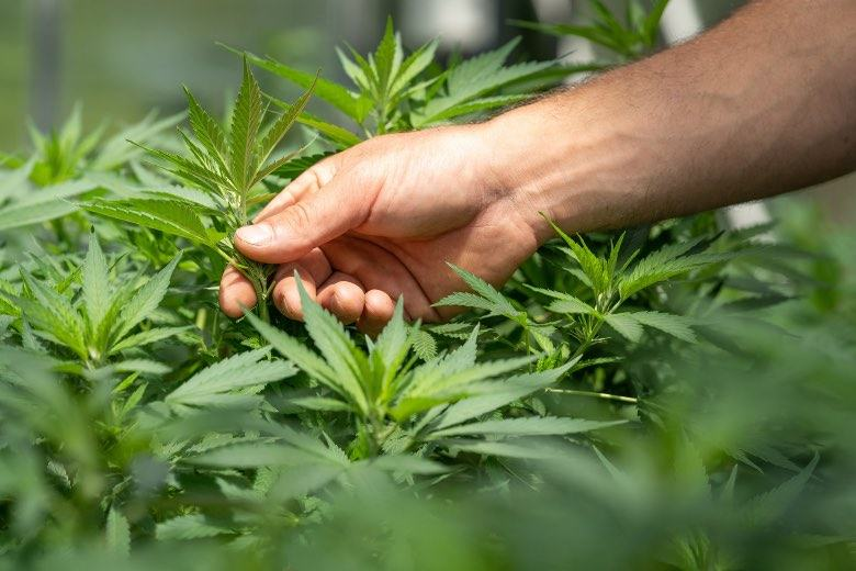 Die zwittrige Marihuana-Pflanze kann eine gestresste Pflanze sein