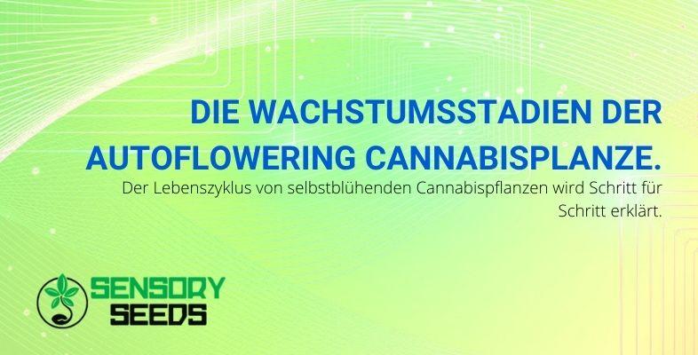 Die Wachstumsstadien der selbstblühenden Cannabispflanze