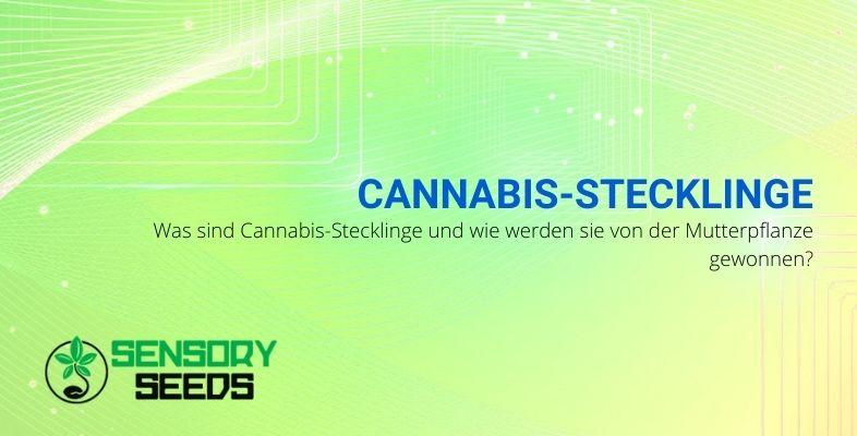 Cannabis-Stecklinge, was sie sind und wie sie erhalten werden