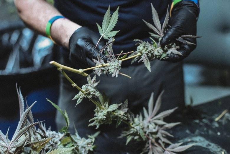 Cannabisblüten bereit zur Ernte