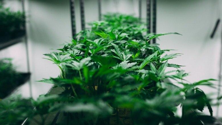 Autoflowering Cannabissamen: Wie werden sie hergestellt?