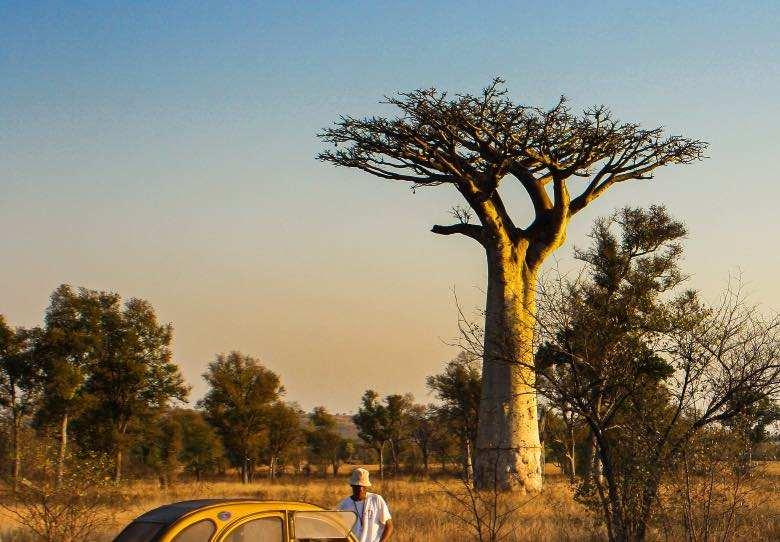 Affenbrotbaum mit horizontalen Ästen wie bei der Scrog-Methode