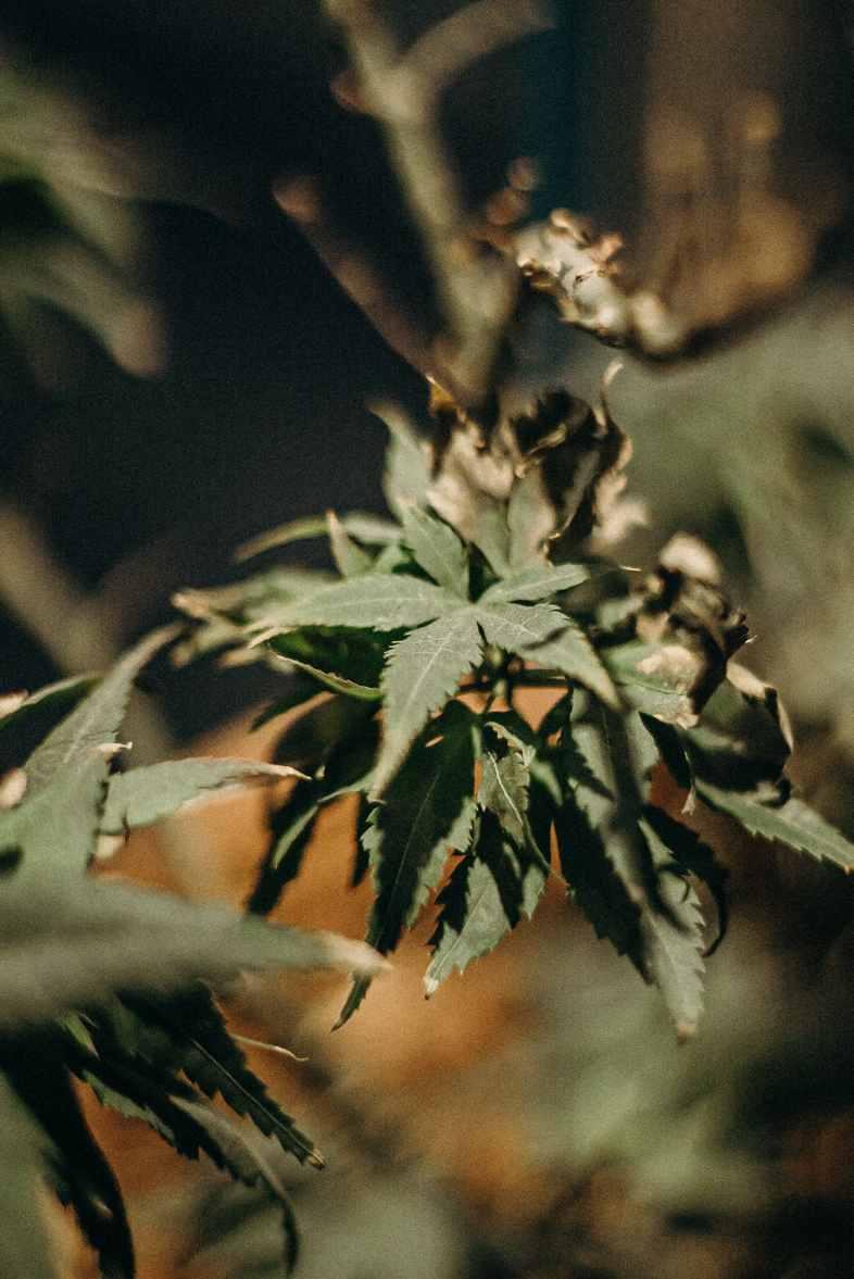 Botrytis-kranke Cannabis-Pflanze