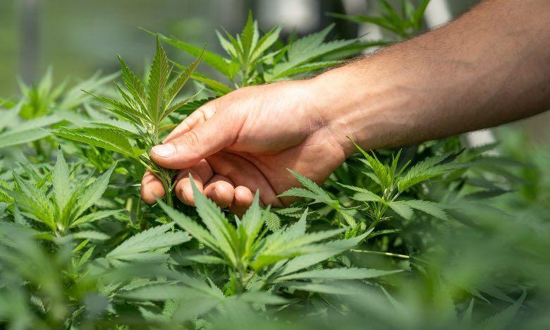 Züchter, der Cannabispflanze analysiert, um nach Krankheiten zu suchen