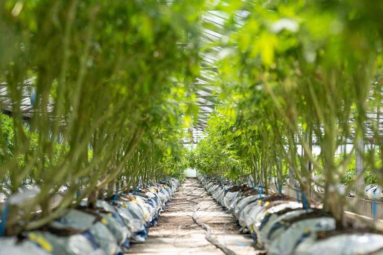 Entblätterte autoflowering Cannabispflanzen