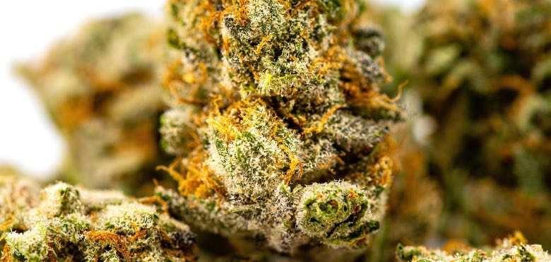 Blume aus Cannabissamen geboren und mit Trichomen bedeckt